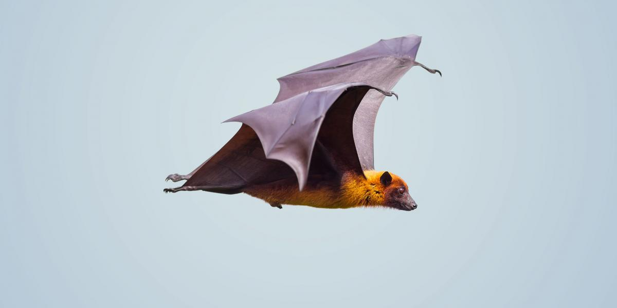 Image of a bat flying